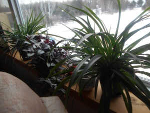 Two spider plants around the Walking Jew plant.
